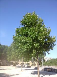 Platanus PLATANOR ® 'Vallis Clausa'
